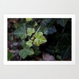 A Bed of Ivy Art Print