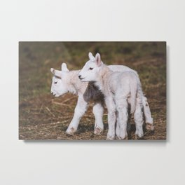 Young Lambs playing on a Field in Spring Metal Print