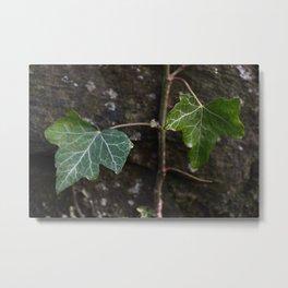 Ivy Leaves Metal Print