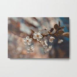 Spring Cherry Sakura White Flowers, Toning Metal Print