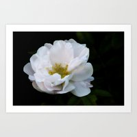 Last rose Art Print