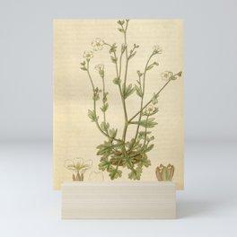Flower 3026 saxifraga petraea Stone Saxifrage10 Mini Art Print