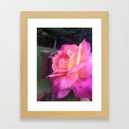 Roses in Rhode Island Framed Art Print