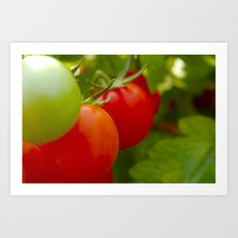 Tomatoes in a row Art Print