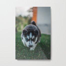 Siberian Husky Puppy  Metal Print