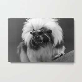 tamarin with a crown of cotton Metal Print