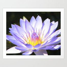Water lily at Cairns Art Print