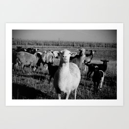 Lambs (bw) Art Print