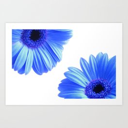 Blue Gerbera Flowers Art Print