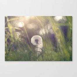 Dandelion blossom defocused in garden Canvas Print