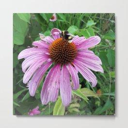 Bumblebee on Eastern Purple Coneflower Metal Print