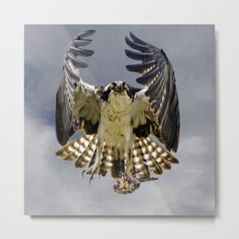 Osprey with a fish Metal Print