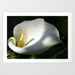White Calla Lilies Over Black Background In Soft Focus Art Print