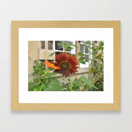 Sunflowers at Christs College Cambridge Framed Art Print