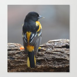 A Very Dignified Baltimore Oriole Canvas Print