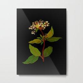 Mary Delany Botanical Vintage Flower Floral Collage Virburnam Tinus (Pentandria Trigynia) Metal Print
