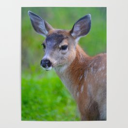 Sitka Black-Tail Fawn Poster