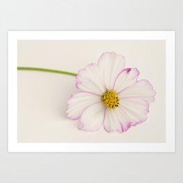 Sensation Cosmos Single Bloom Art Print