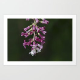 Red Flowering Currant Art Print