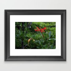 Notro flower in cucao chiloe Framed Art Print