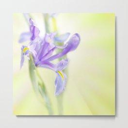 Flag iris in spring sunlight on a bright sunburst Metal Print