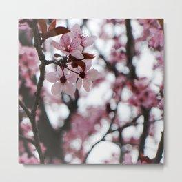 cherry blossom ambrosia Metal Print