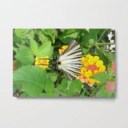 Scarce Swallowtail Feeding on Lantana Metal Print