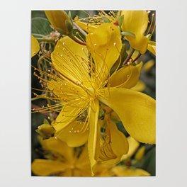 Hypericum flower closeup Poster