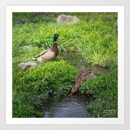 Peaceful Ducks Art Print