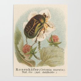 European Rose Chafer Bug Lithograph Poster