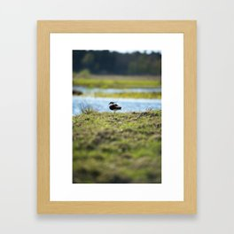 Northern lapwing Framed Art Print