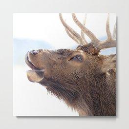 Watercolor Elk Bull 18, Estes Park, Colorado, Calling Home Metal Print