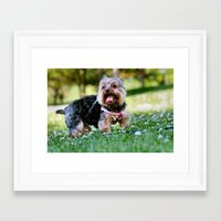 yorkie Framed Art Prints featuring Darling Yorkie by IowaShots