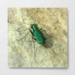 Watercolor Beetle, Six-spotted Tiger Beetle 03, Eno River, North Carolina Metal Print