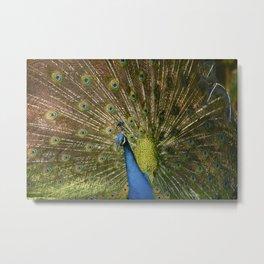 Peacock. Metal Print