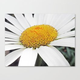 White and Curly #2 Canvas Print