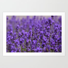 the smell of lavender -c- Art Print
