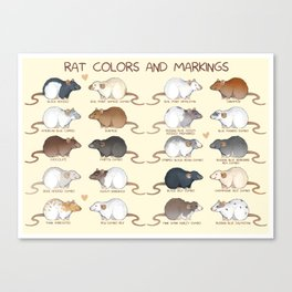 Rat colors and markings  Canvas Print