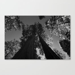black and white staring straight up at giant sequoias Canvas Print