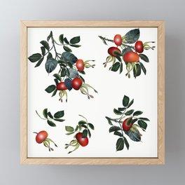 Rose hip, realsitic botanical illustration vector Framed Mini Art Print