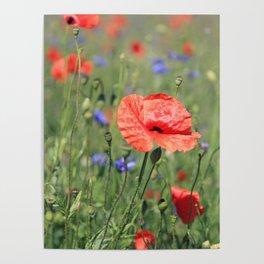 poppy flower no16 Poster