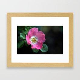 Carefree Delight Rose Framed Art Print