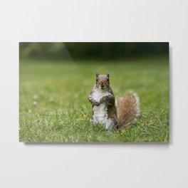 Grey Squirrel Metal Print