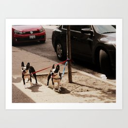 Boston Terriers ~ amped up for action! Art Print