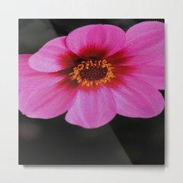 Pink Dahlia Metal Print