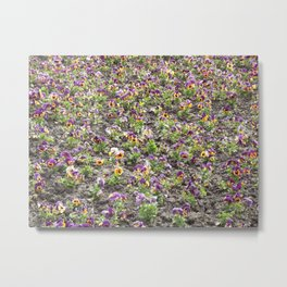 Picture of colorful Portulaca grandiflora Metal Print