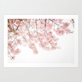 Pink Blooming Cherry Trees Art Print