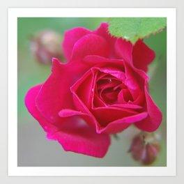 Fluid Nature - Budding Rose - Garden Photography Art Print