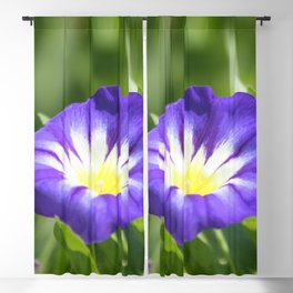 Dwarf Morning Glory Convolvolus tricolor Blackout Curtain