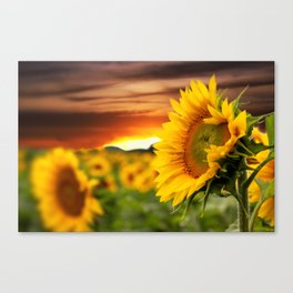 Sunrise over the Sunflowers Canvas Print